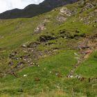 Über 200 Geissen kommen zurück ins Tal